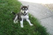 wonderful alaskan malamute puppies for sale.