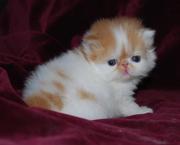 bonita gatitos exóticos para un buen hogar